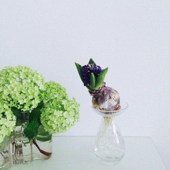 【店長コラム | 今日の花】やっと咲きました♪楽しみにしてた球根の花。