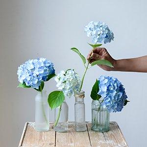 【特集|暑さを忘れる、夏の花】第1話:大好きなアジサイをかわいく飾ろう。