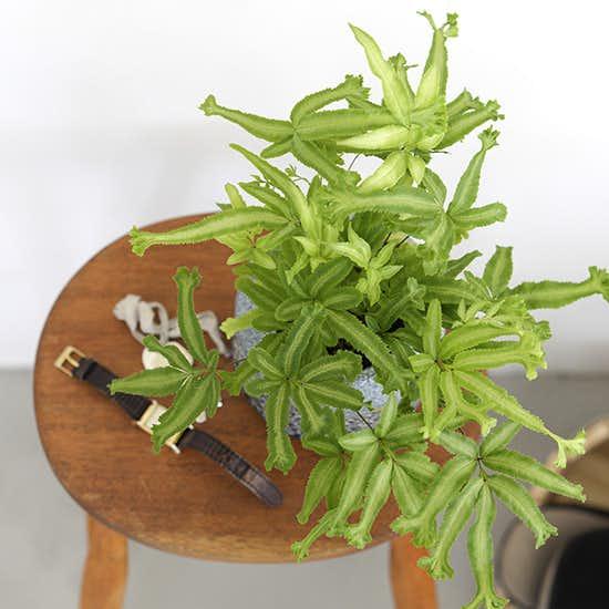 【観葉植物の選び方・育て方】第3話:玄関にも置ける、育てやすく小振りなサイズの観葉植物