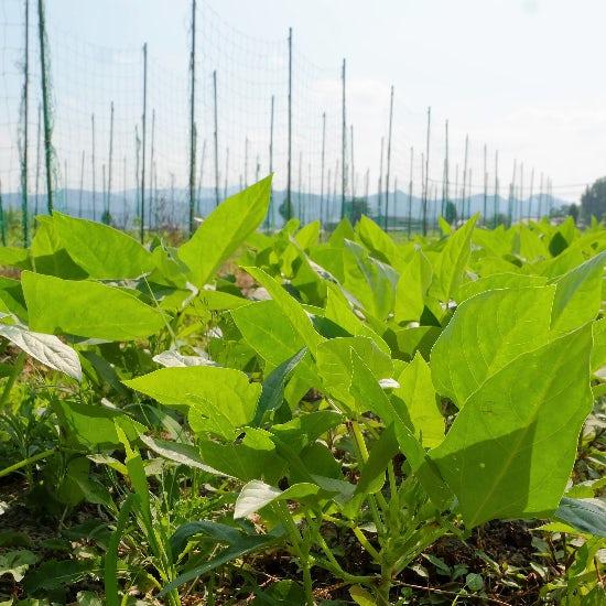 【ただいま収穫中!】その野菜が、畑から食卓へ届くまで