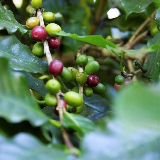 【ただいま収穫中!】ラオスの森からコーヒーをお届け。「メコンオーガニックプロジェクト」のはなし。