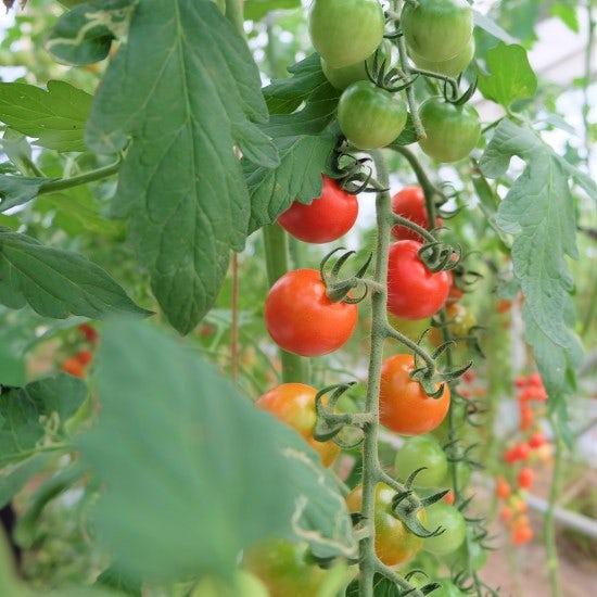 【ただいま収穫中!】冷えすぎ注意?八百屋が教える「保存版!夏野菜のかんたん保存ポイント」