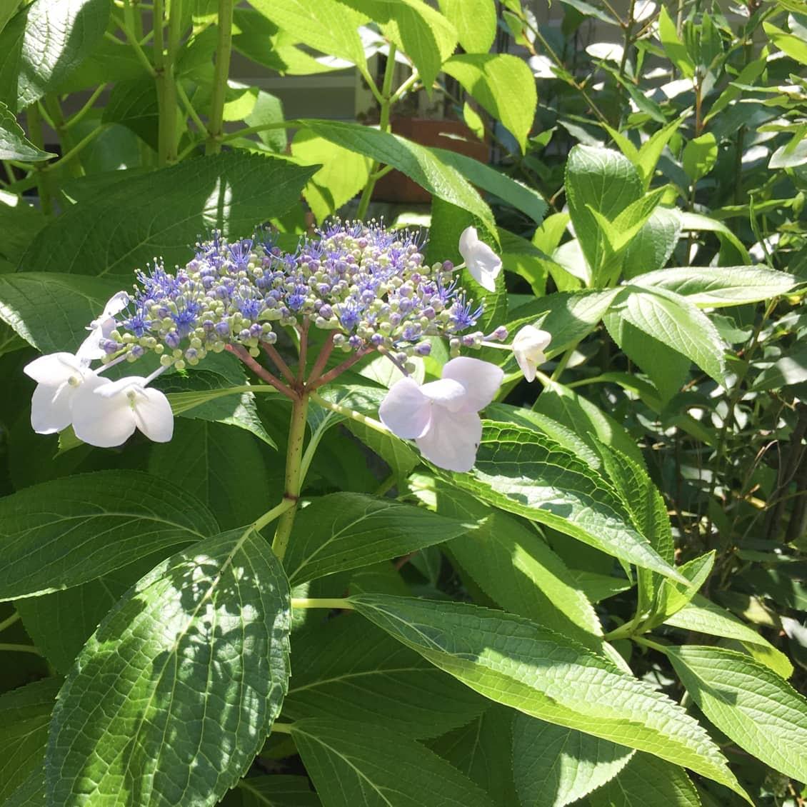 いけない て 植え 庭 は 紫陽花 に