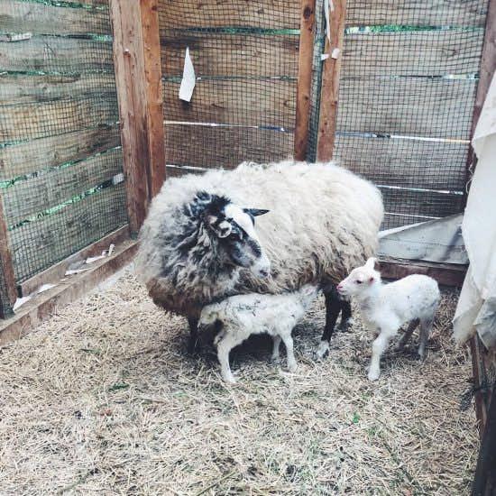【ケの日のこと】動物好きの娘とともに、羊に会いに行ってきました。