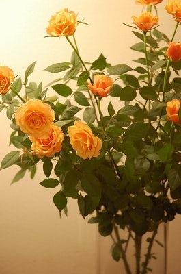 散歩と薔薇。
